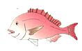たい類(鯛類)